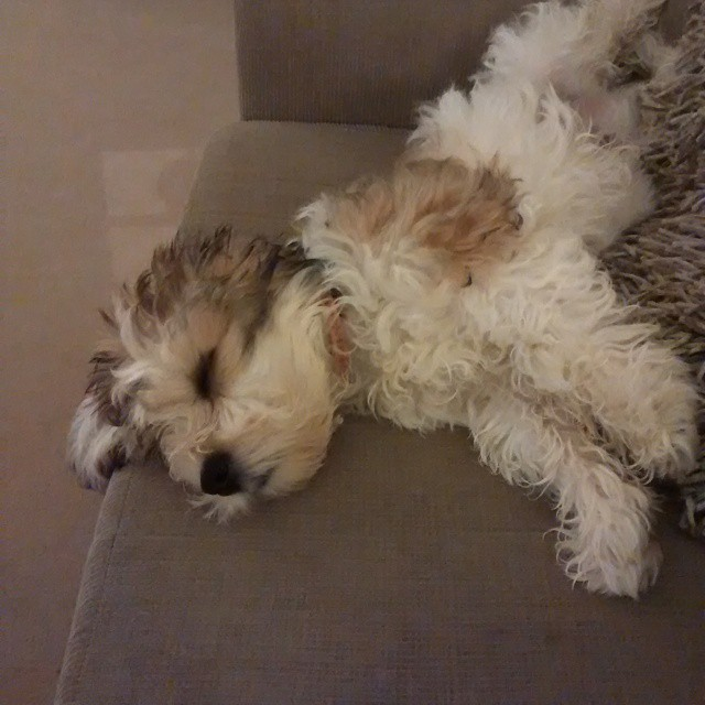Sleepy puppy Cavachon cute