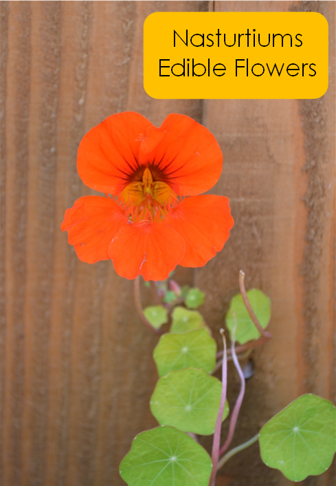 nasturtiums edible flowers
