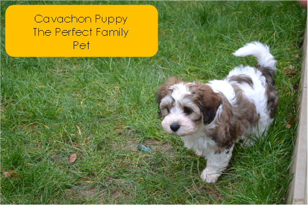 Cavachon Puppy the perfect family pet